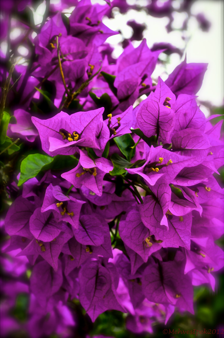 Photograph Bougainvilleas by Mehves Ipek on 500px