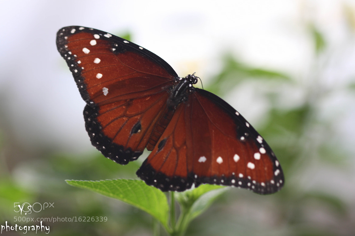 Photograph butterfly by yuval shohat on 500px