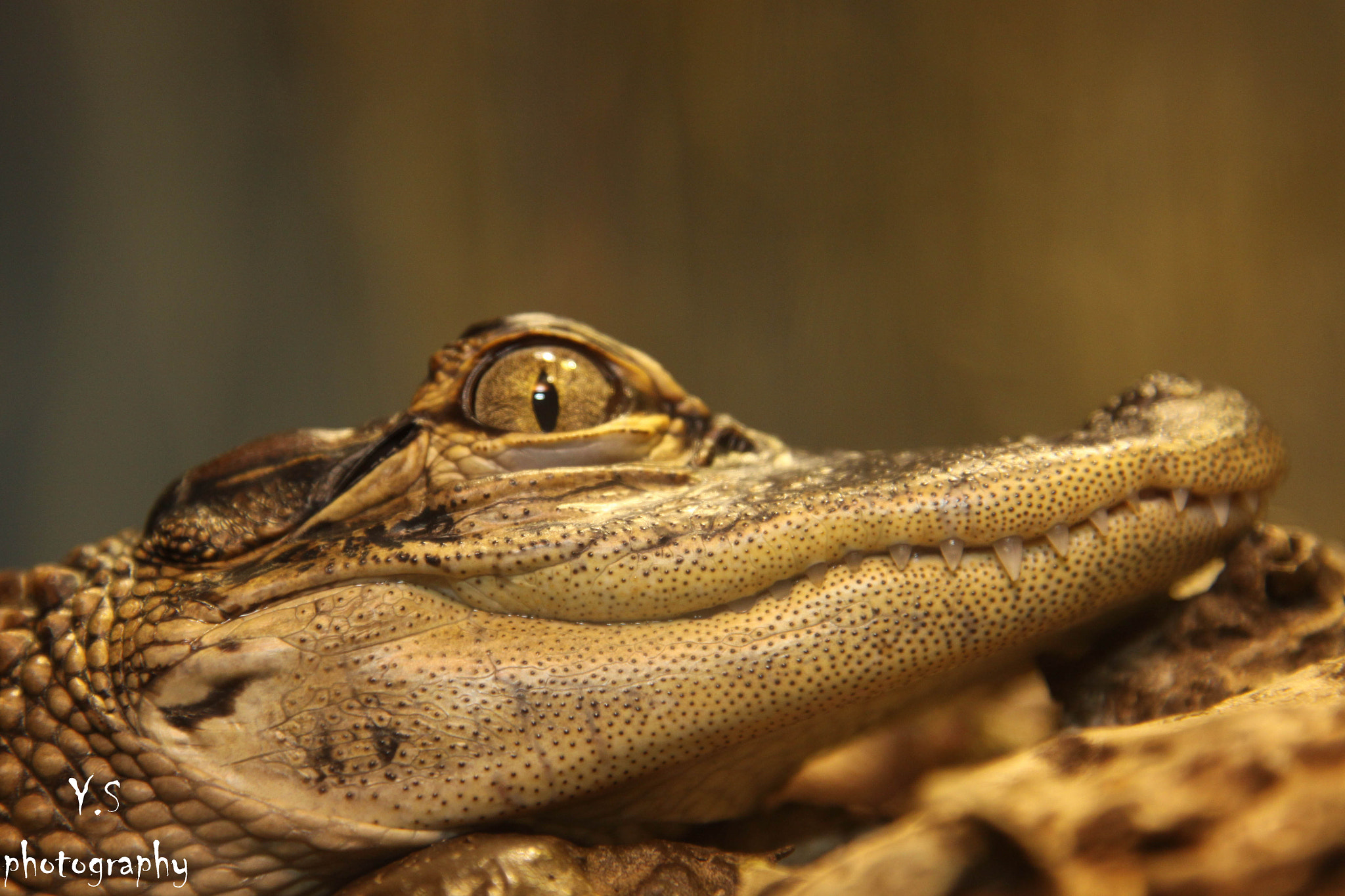 Photograph crocodile by yuval shohat on 500px