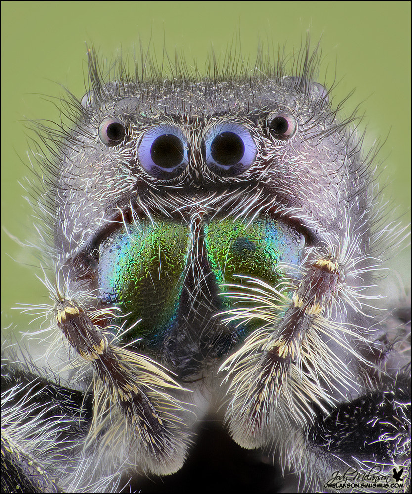 Photograph Jumping Spider by Jody Melanson on 500px
