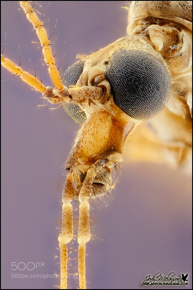 Photograph Crane Fly by Jody Melanson on 500px