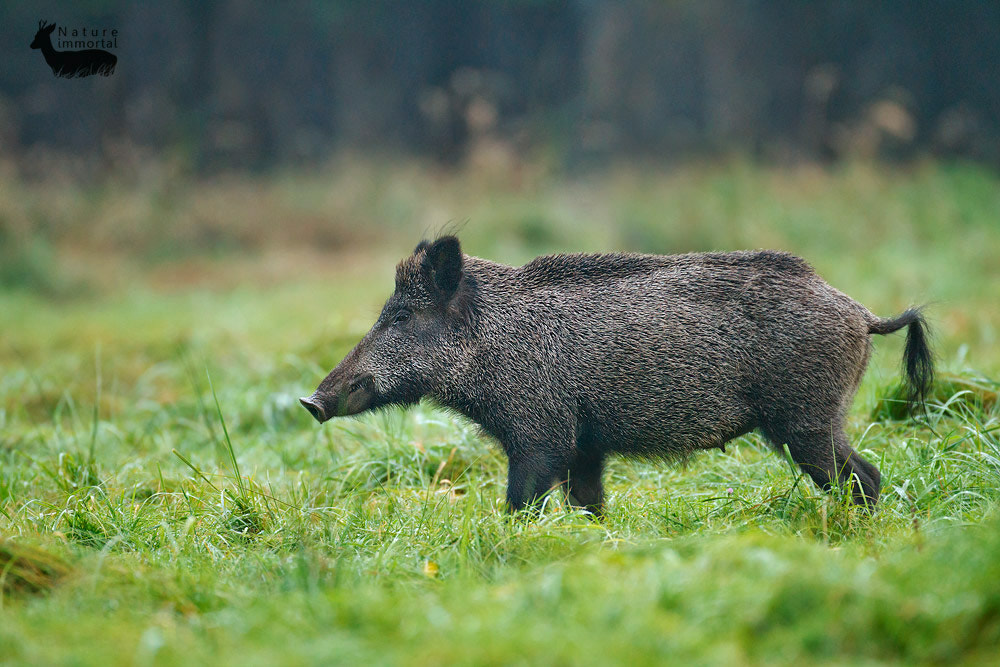 Photograph Wild boar sow in dew drenched grass by Neil Burton on 500px