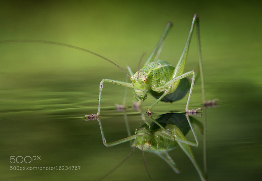 Photograph Grasshoper by Nikolay Stoilov on 500px