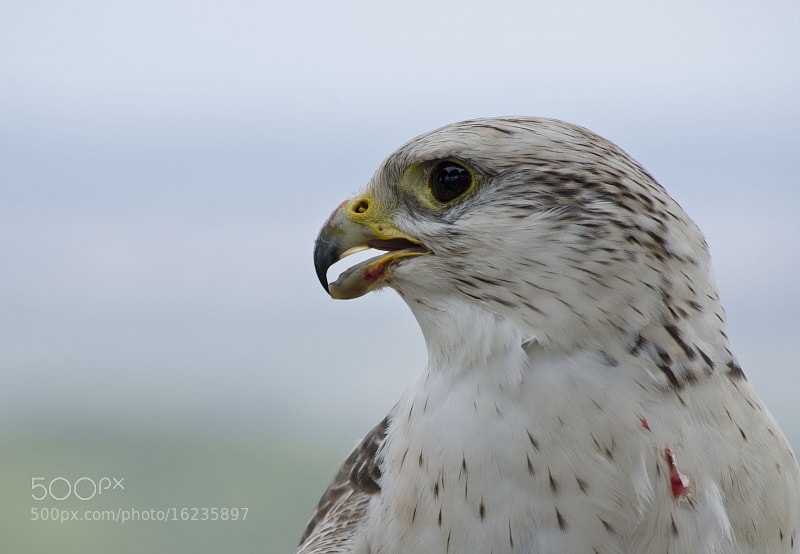 Photograph falco 2 by Albert Galì on 500px