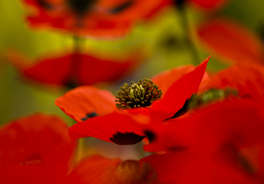 Photograph Poppies by Rory McDonald on 500px