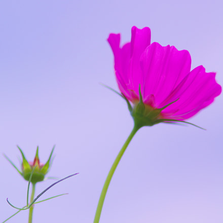 Midsummer of cosmos, Pentax K-5 II S, smc PENTAX-FA 135mm F2.8 [IF]