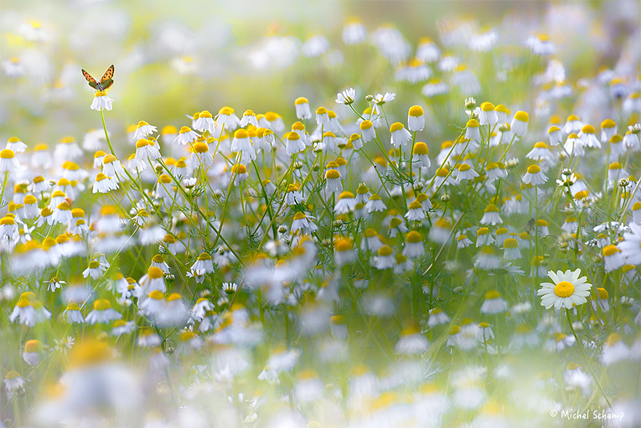 Loving Daisies by Michel Schamp on 500px.com
