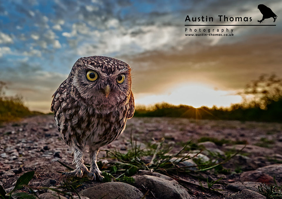 Wide angle Little Owl