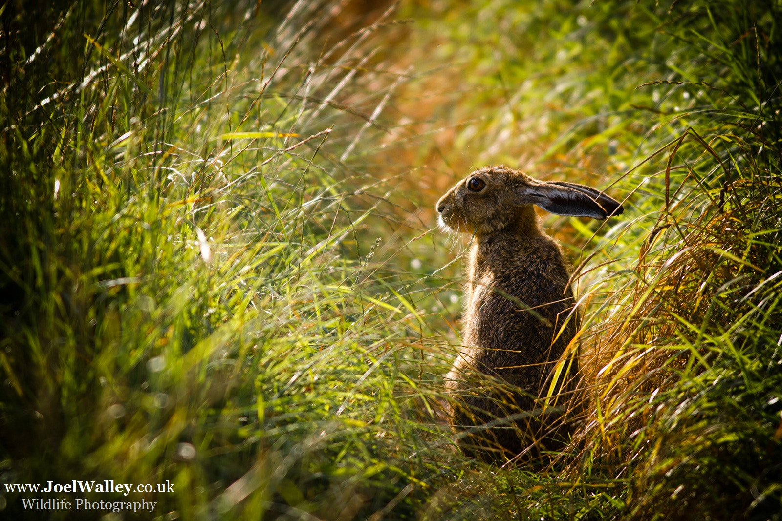 Photograph Brown Hare by Joel Walley on 500px