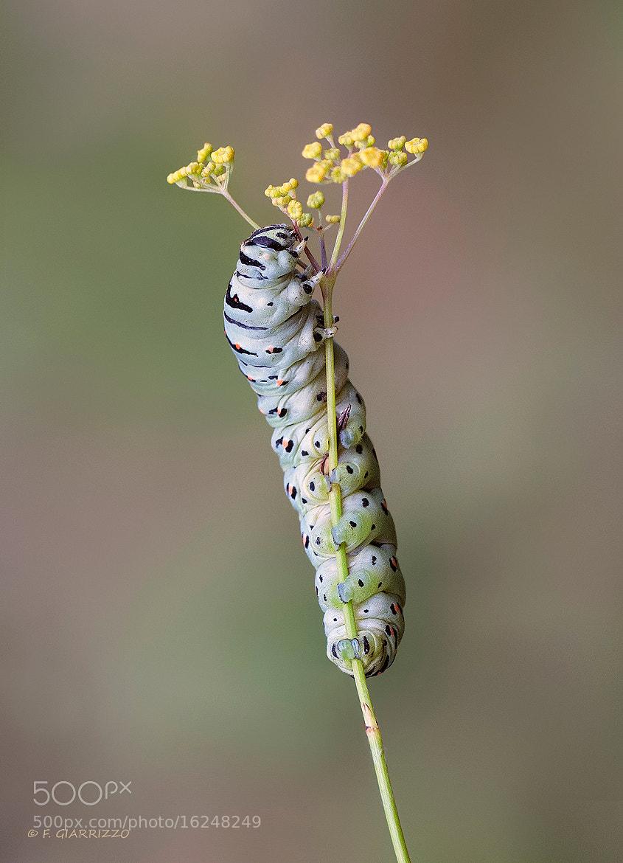 Photograph European swallowtail caterpillar by Fabio Giarrizzo on 500px