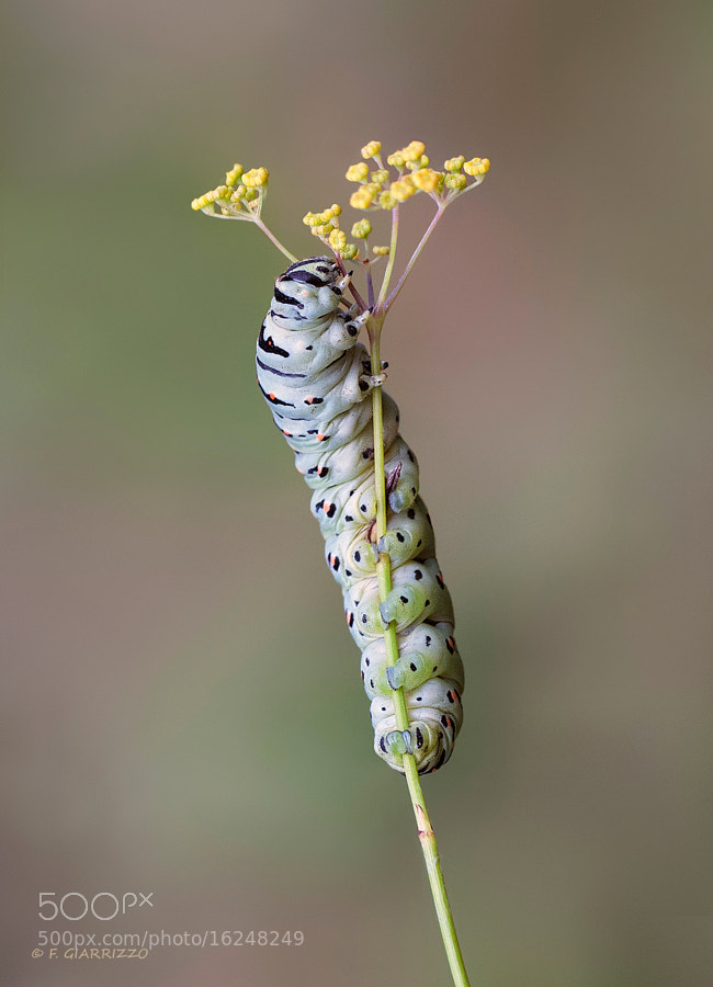 Photograph European swallowtail caterpillar by Fabio Giarrizzo on 500px