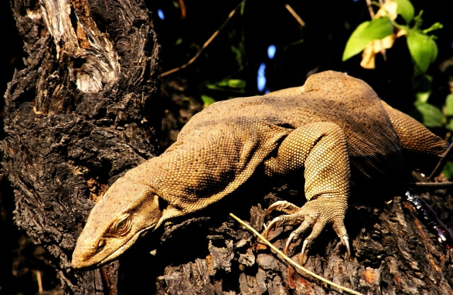 Photograph Monitor Lizard by Manjot Singh on 500px