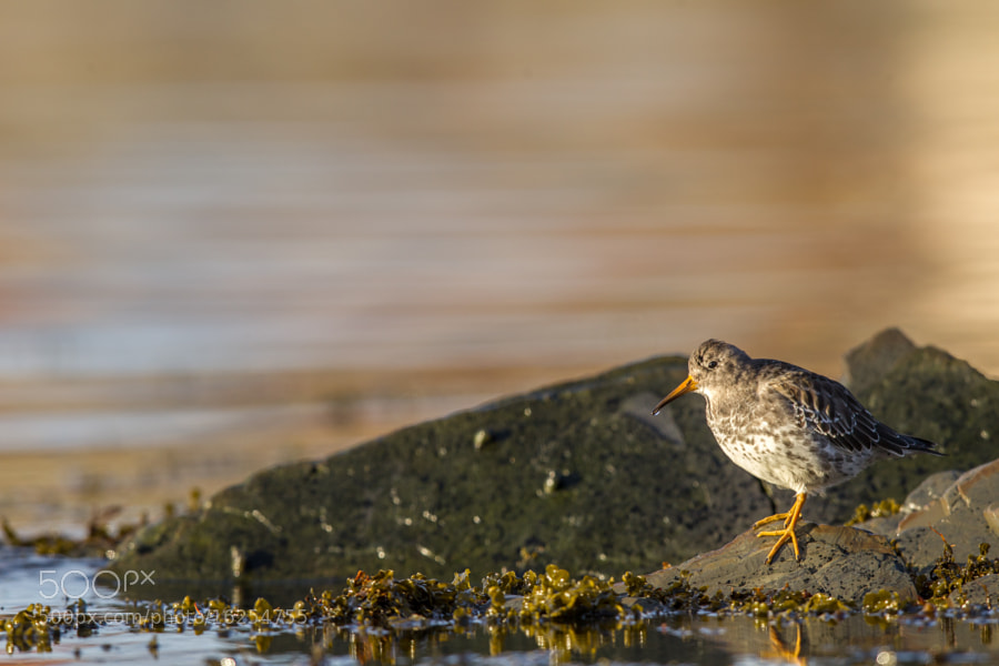 Photograph Purple Sandpiper (Calidris maritima) by Alonza  Garbett on 500px