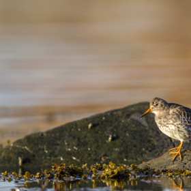 Purple Sandpiper (Calidris maritima) by Alonza  Garbett (lonzagarbett)) on 500px.com
