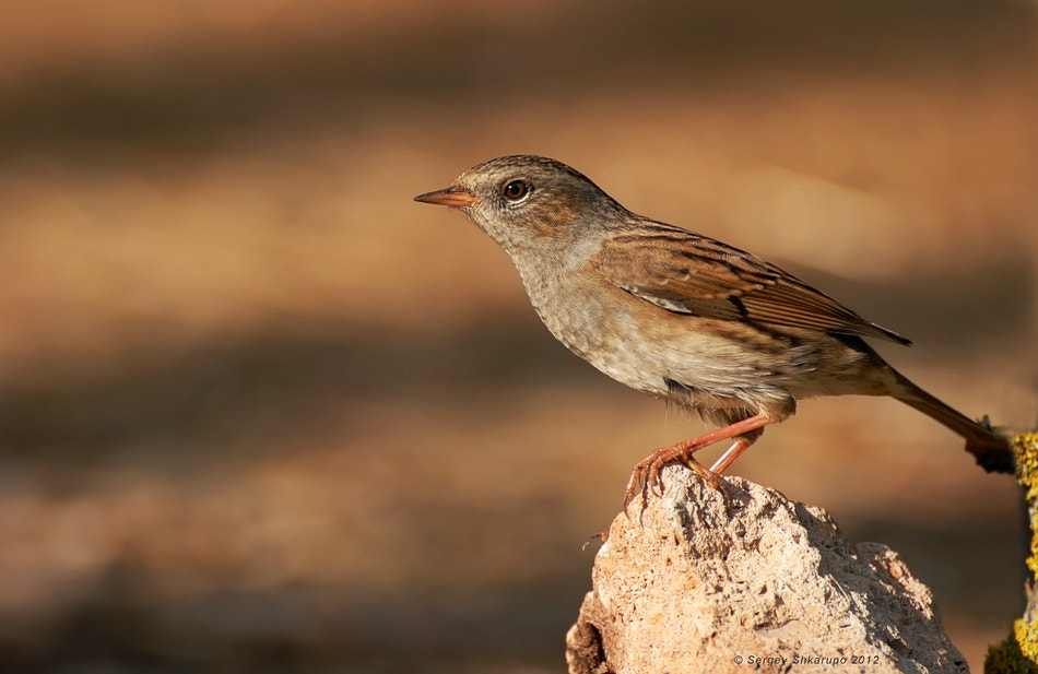 Photograph Hedge Accentor by Sergey Shkarupo on 500px