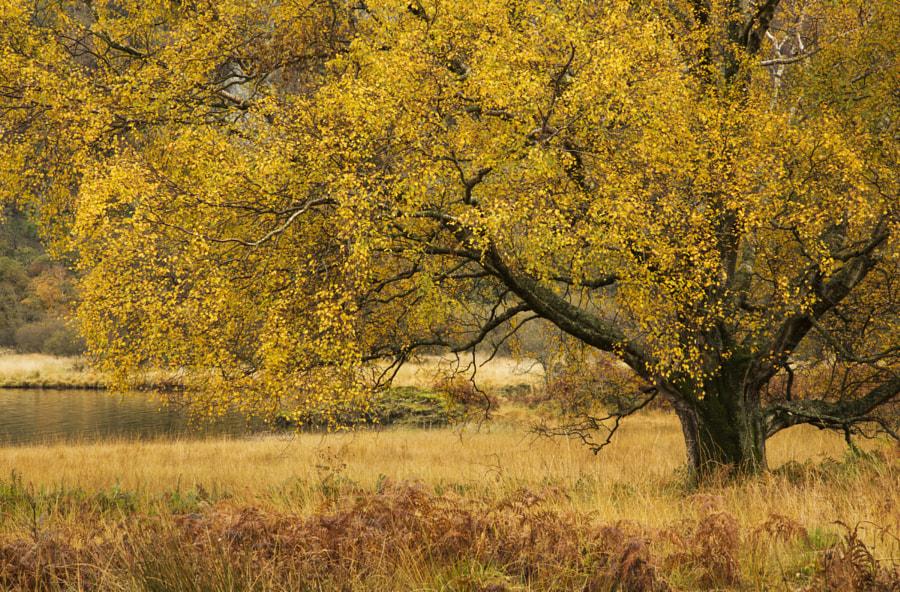 Golden beech tree