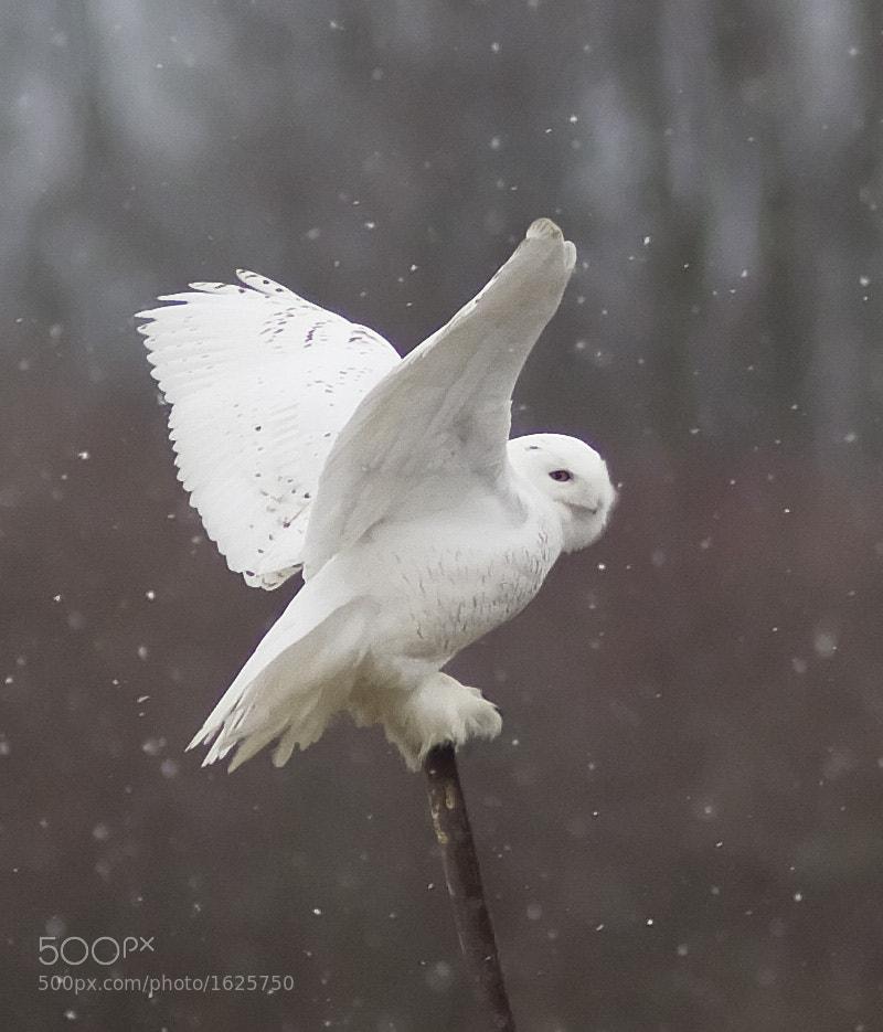 Photograph Snowy Owl by Phil Armishaw on 500px