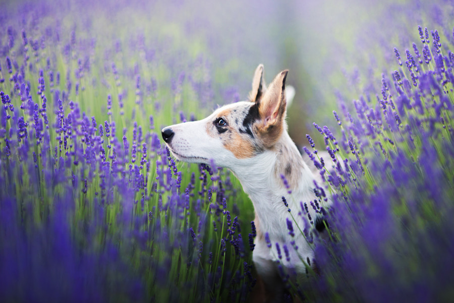 Lavender by Iza ?yso? on 500px.com