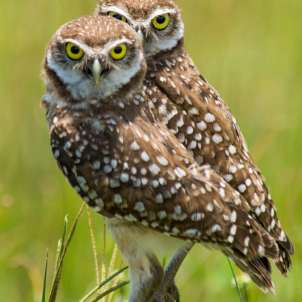 Burrowing Owl Pair, Sony SLT-A57, Tamron SP AF 200-500mm F5.0-6.3 Di LD IF