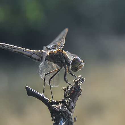 ...darter..., Nikon D90, Sigma 28-80mm F3.5-5.6 Mini Zoom Macro II Aspherical