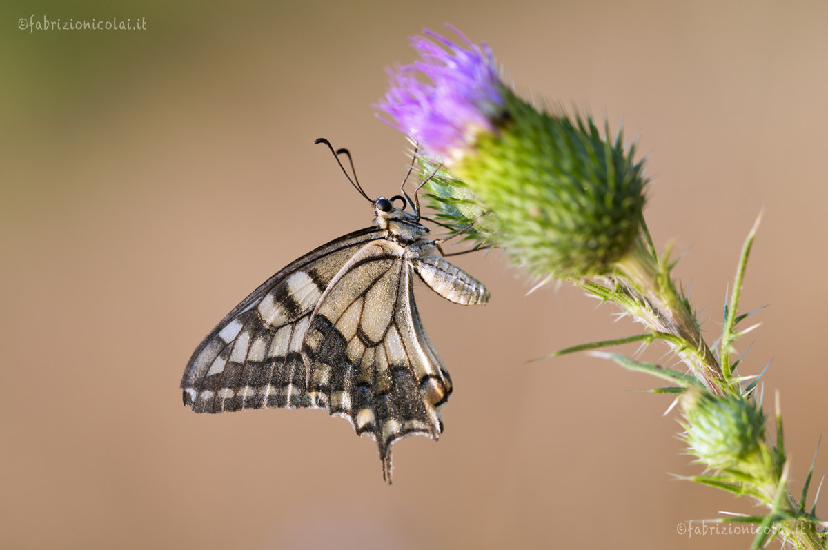 Photograph Papilio machaon by Fabrizio Nicolai on 500px