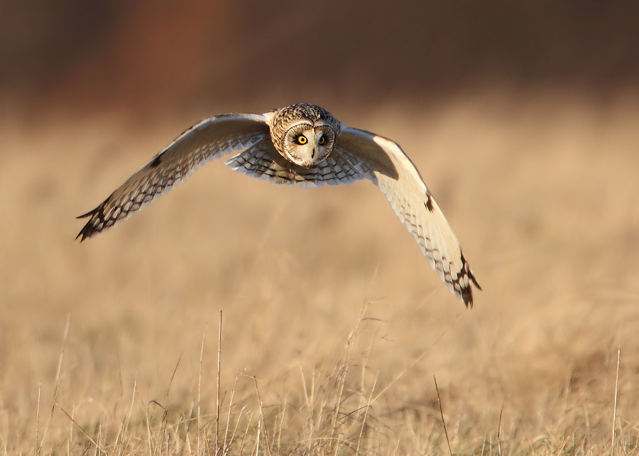 Photograph Short Eared Owl by Karen Summers on 500px