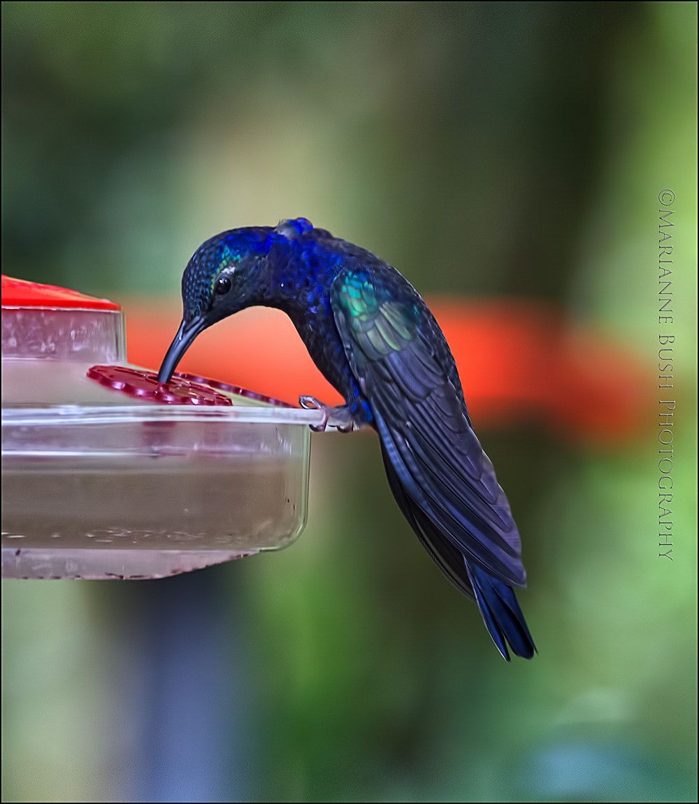 Photograph Violet Sabrewing by Marianne Bush on 500px