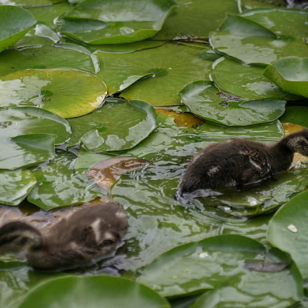 Baby ducks feeding, Canon EOS 10D, Tamron SP AF 28-75mm f/2.8 XR Di LD Aspherical [IF] Macro