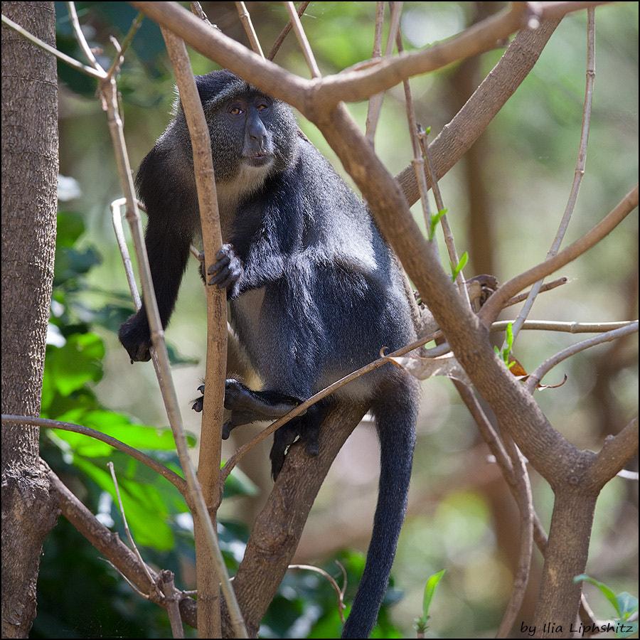 Blue Monkey №2