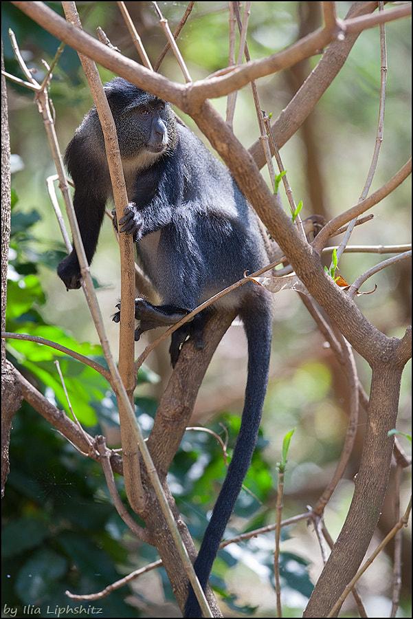 Blue Monkey №3