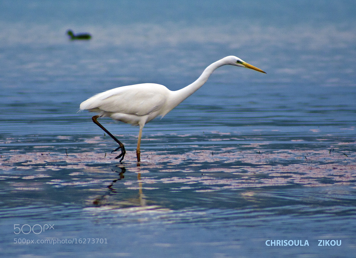 Photograph Great Egretta alba by Chriss Zikou on 500px