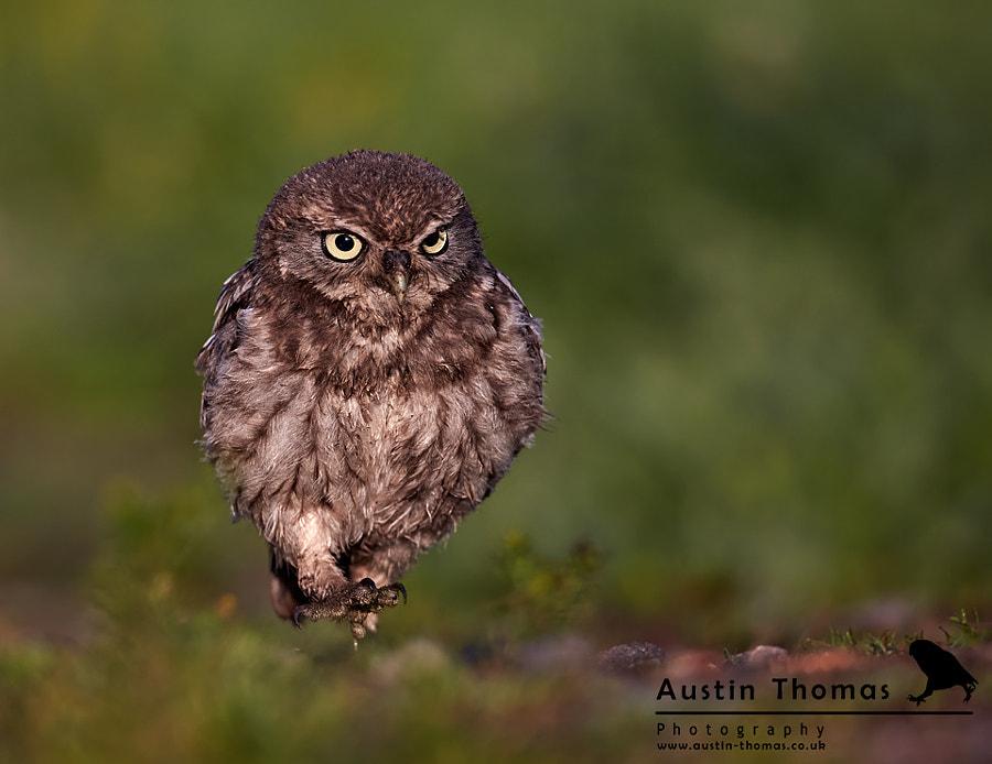 An Owlet on the run...
