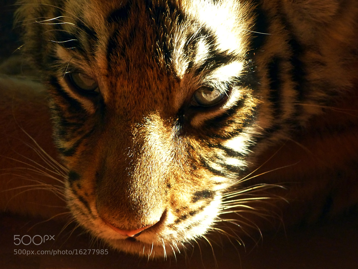 Photograph Baby Bengal Tiger  by Pedro Henrique Evangelista on 500px