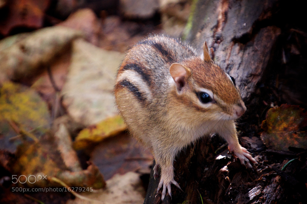 Photograph Eastern Chipmunk by Cory Zanker on 500px
