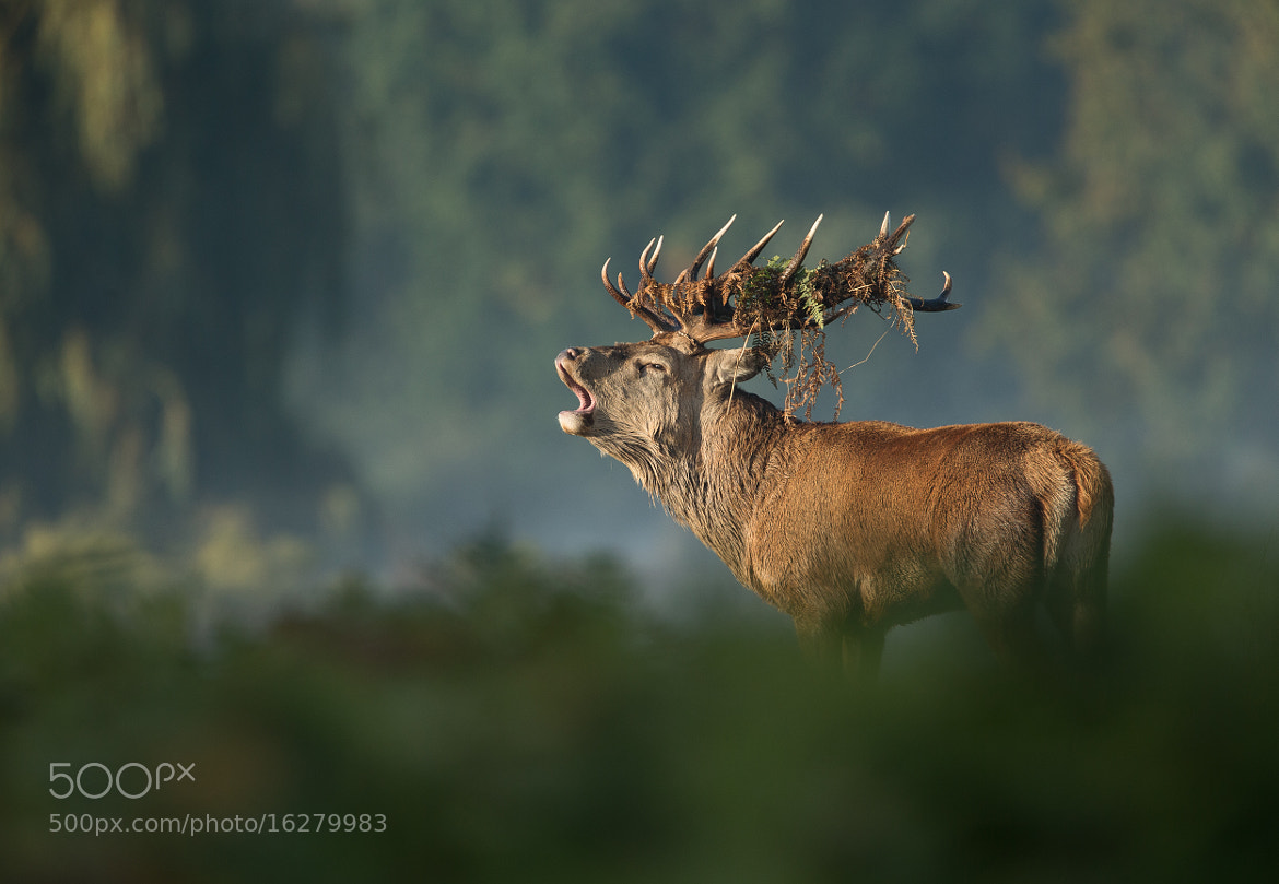 Photograph Stag calling by steven  whitehead on 500px