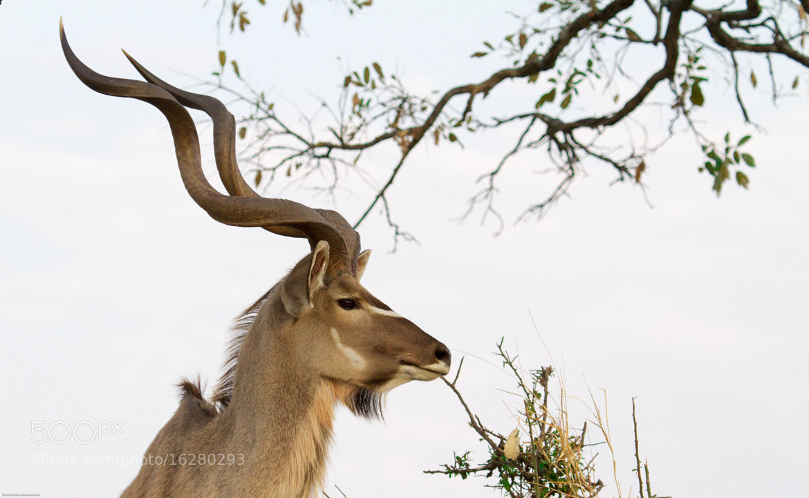 Photograph Kudu  by Beena Balasubramaniam on 500px