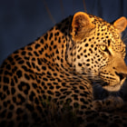 This is Makepisi, a male leopard who inhabits the Timbavati region of Kruger Park.  He was the first leopard we saw on a magical four-day safari in Motswari Private Game Reserve.
