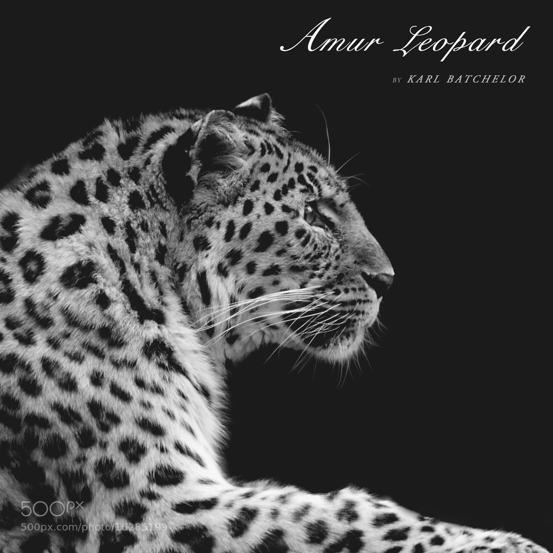 Photograph Amur Leopard by Karl Batchelor on 500px