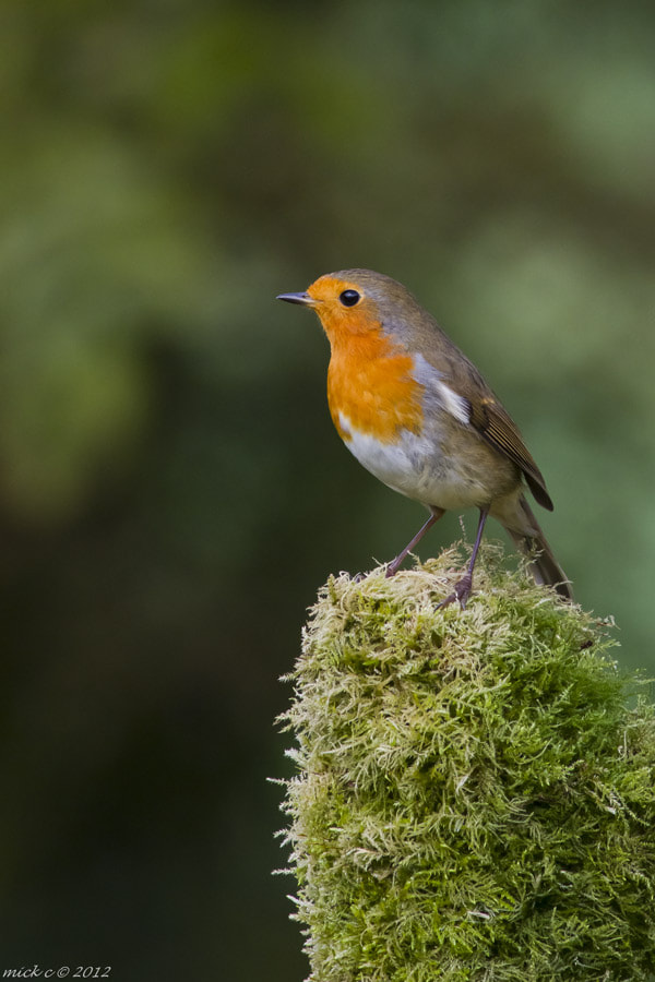 Photograph robin by Mick Cooke on 500px