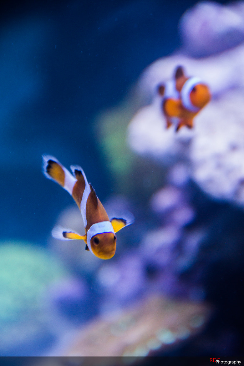 Photograph ClownFish by Roberto De Giorgio on 500px