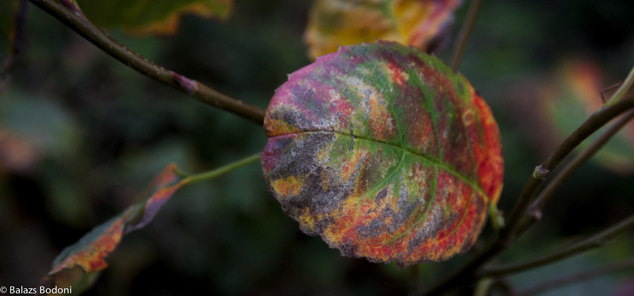 Photograph Autumn color leaf by Balazs Bodoni on 500px