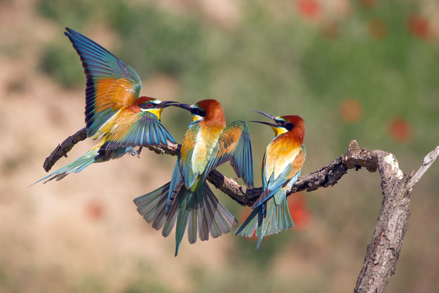 Bee-eaters by Sylwia Domaradzka on 500px.com