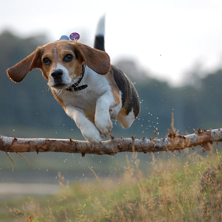flying Beagle, Nikon D40, Sigma 55-200mm F4-5.6 DC HSM