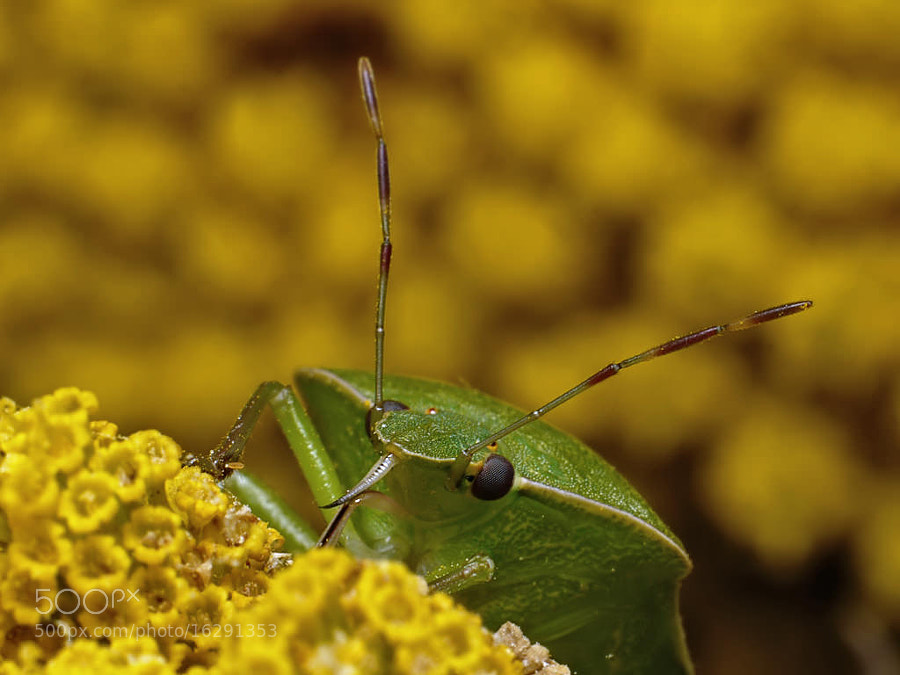 Green shield bug #10
