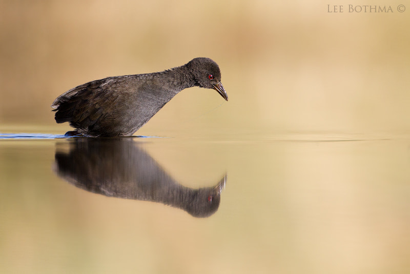 Photograph Young Black Crake by Lee Bothma on 500px