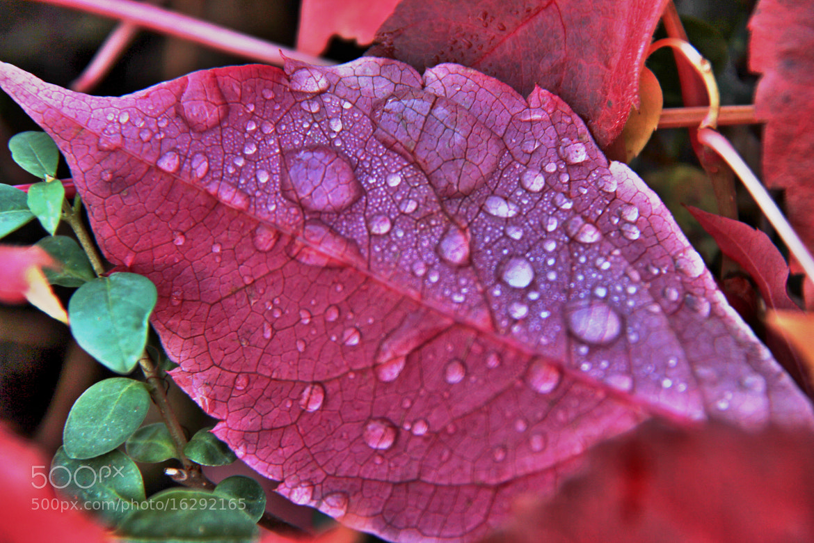Photograph Raindrops on Red Leaf by John Win on 500px