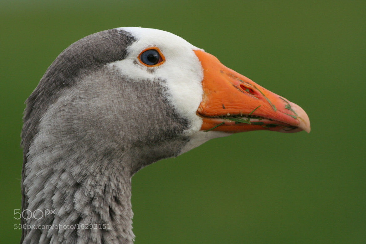Photograph greylag goose by Richard Driessen on 500px