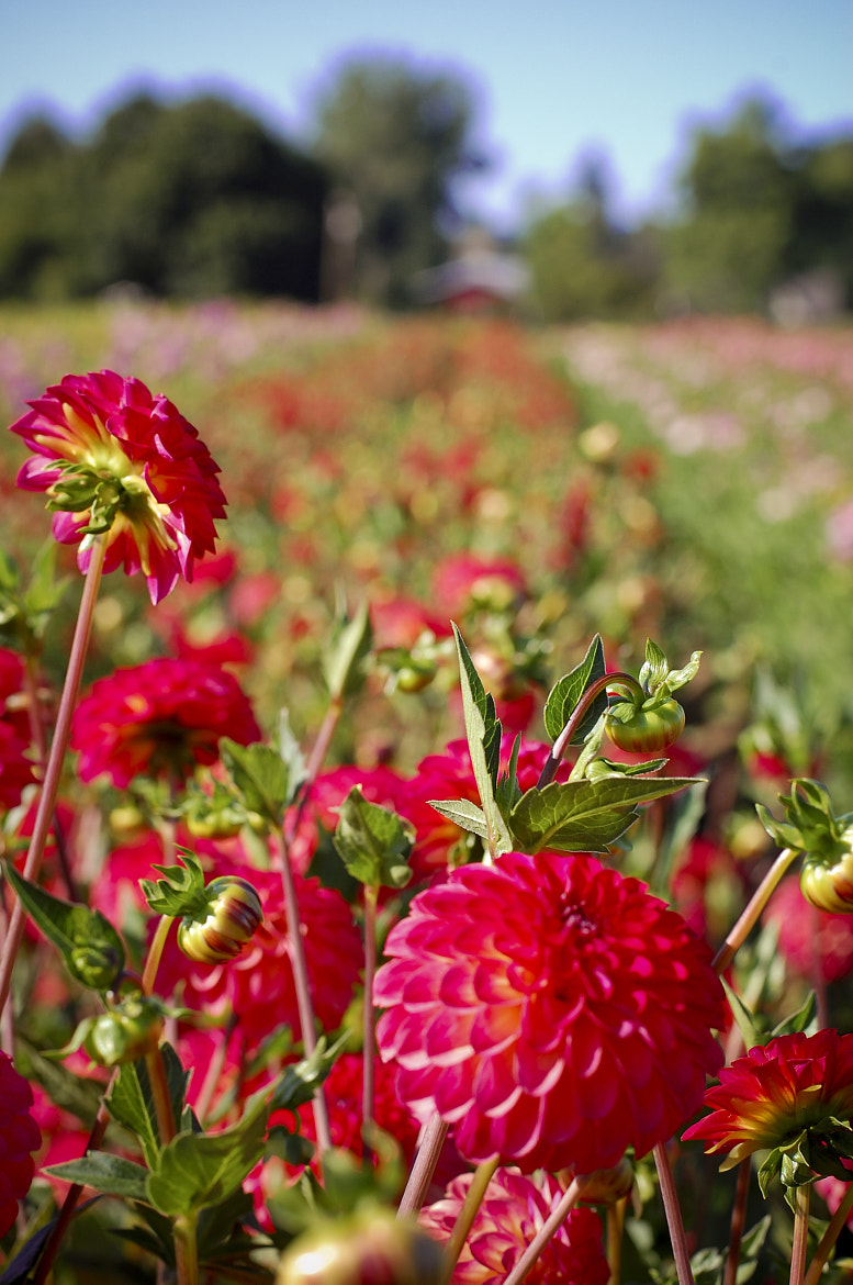Photograph Dahlia Days by Natalie Coleman on 500px
