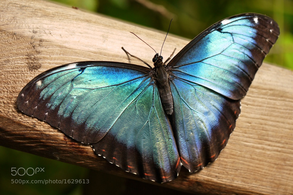 Photograph Blue Morpho by John Purchase on 500px