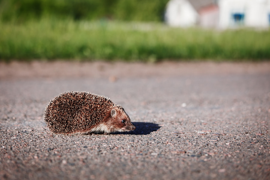 Little cute hedgehog crossing the road against grass and a house